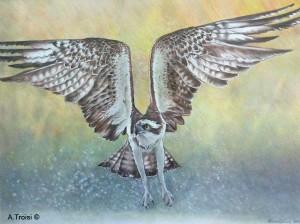 Falco pescatore, un disegno di Alessandro Troisi