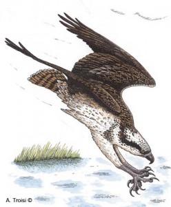 Falco pescatore in tuffo-disegno di Alessandro Troisi