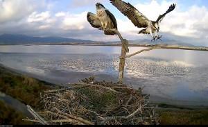 Anteprima webcam sul nido del falco pescatore